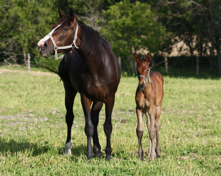 Horse Breeding Related Keywords - Horse Breeding Long Tail ...